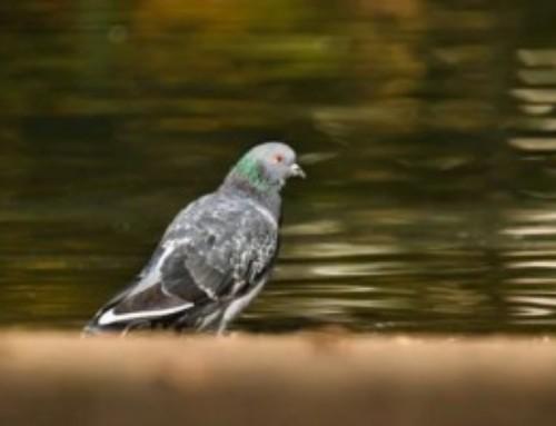 Il ritorno dei piccioni viaggiatori: colombofilia nel Sahel. La lettera di p. Mauro Armanino