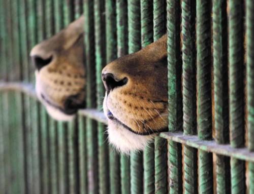 Sudafrica, quando i leoni d'allevamento diventano trofei di caccia