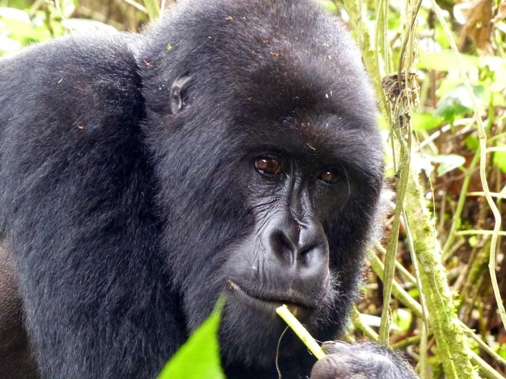 gorilla-ruanda