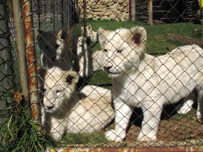 leoncini leoni rinchiusi sudafrica